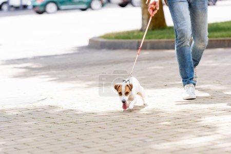 Photo pour Vue recadrée de l'homme en jeans marchant avec Jack Russell terrier chien en laisse - image libre de droit