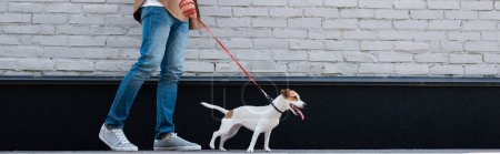 Panoramic crop of man walking jack russell terrier on leash near building
