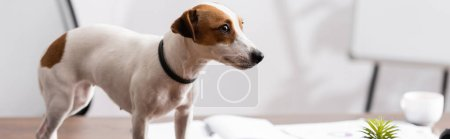 Panoramic shot of jack russell terrier looking away on table in office