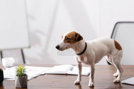 Photo pour Jack Russell terrier regardant loin près de l'usine sur la table de bureau - image libre de droit
