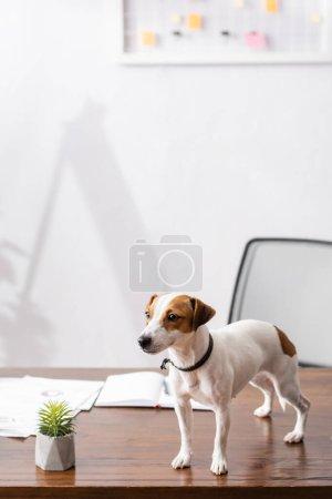 Photo pour Jack Russell terrier regardant loin près de la plante et des papiers sur la table de bureau - image libre de droit