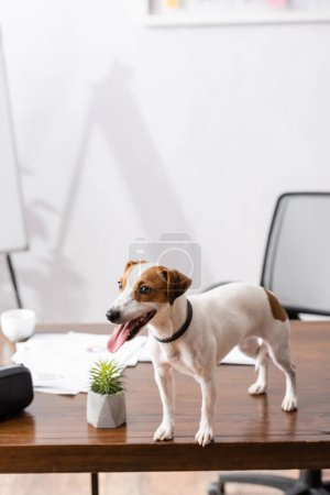 Photo for Selective focus of jack russell terrier sticking out tongue while standing on office table - Royalty Free Image