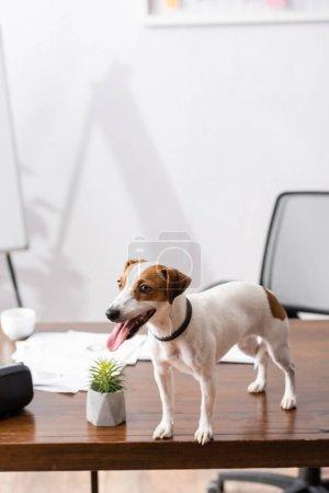 Photo pour Mise au point sélective de Jack Russell terrier qui sort la langue tout en se tenant debout sur la table de bureau - image libre de droit