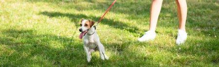 Photo pour Récolte panoramique de jeune femme gardant Jack Russell Terrier chien en laisse - image libre de droit