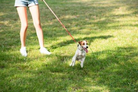 Ausgeschnittener Blick auf junge Frau, die Jack Russell Terrier-Hund an der Leine hält
