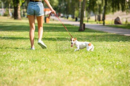 Photo pour Vue recadrée de la jeune femme marchant avec Jack Russell Terrier chien - image libre de droit