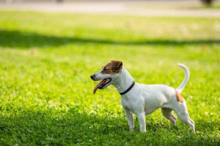 Photo pour Concentration sélective de Jack Russell terrier chien debout sur l'herbe - image libre de droit