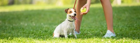 Panoramic crop of young woman keeping dog on leash and showing tennis ball