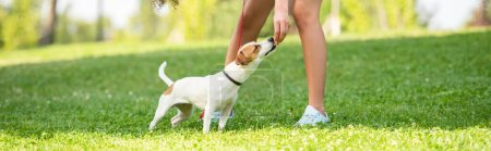 Panoramic shot of jack russell terrier dog smelling hand of young woman