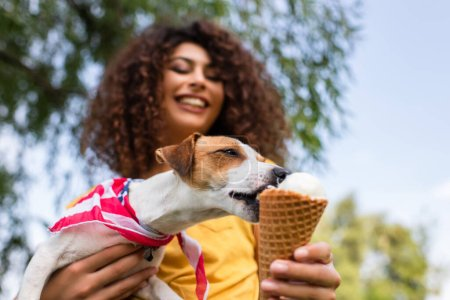 Photo pour Concentration sélective de Jack Russell terrier chien lécher la crème glacée de la main - image libre de droit
