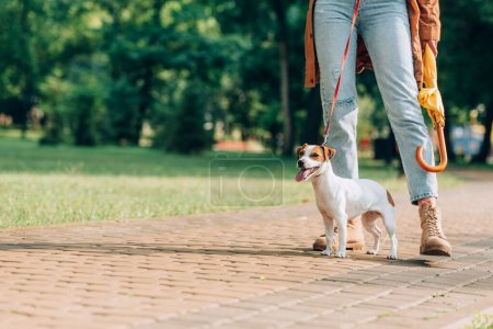 Cropped view of jack russell terrier on leash standing near woman with umbrella in park