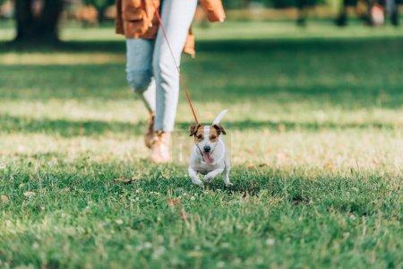 Photo pour Concentration sélective de Jack Russell terrier courir près de la femme sur l'herbe - image libre de droit
