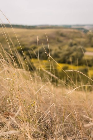 Photo for Close up view of spikelets on meadow with hills on blurred background - Royalty Free Image