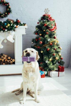 Photo pour Labrador tenant présent dans les dents près de l'arbre de Noël dans le salon décoré - image libre de droit