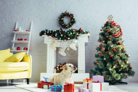 Photo pour Labrador couché près des cadeaux et arbre de Noël dans le salon décoré - image libre de droit