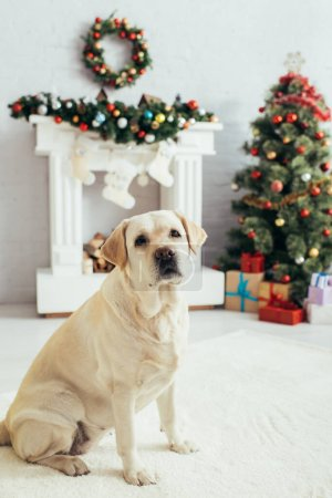 Labrador looking at camera near christmas tree and fireplace