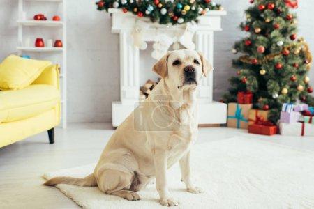Photo pour Labrador assis dans le salon décoré près de l'arbre de Noël et cheminée - image libre de droit