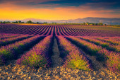 Beautiful fragrant flowery plantation at sunset. Agricultural place with purple lavender fields in Provence, France, Europe