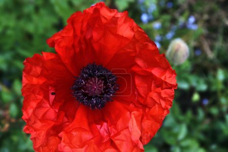 Photo for Beautiful red poppy blossom in a green garden - Royalty Free Image