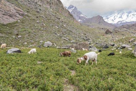 Photo pour Vue des chèvres pâturant sur l'herbe verte parmi les montagnes - image libre de droit