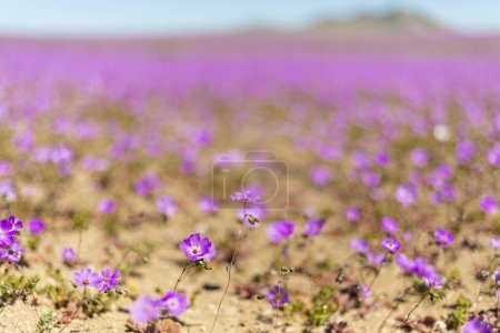 When rains comes to Atacama Desert thousand of flowers grows along the desert fields making it an amazing flowery meadow full of colors from the springtime. El Nio weather phenomenon brings water