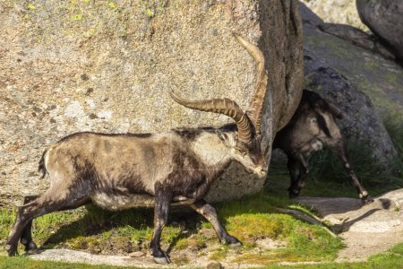 Photo for Amazing Spanish Mountain Goats grazing on green grass at sunny day - Royalty Free Image
