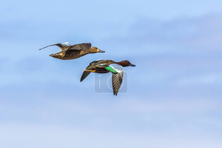 Photo for Black ducks flying in blue sky at sunny day - Royalty Free Image