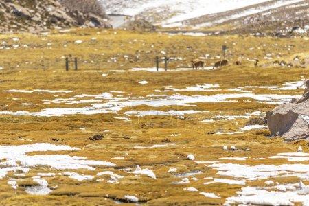 Photo pour Mignons petits lamas pâturage à prairie à jour ensoleillé - image libre de droit