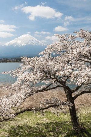 Sakura cherry blossom and Mount Fuji at Kawaguchiko lake in spring season, Japan