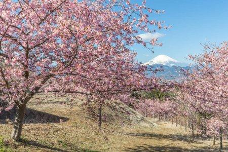 Japanese Sakura cherry blossom and Mountain Fuji in spring season