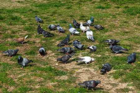 Foto de Multitud de palomas en la calle peatonal de la ciudad. Grupos borrosos de palomas luchan por comida, - Imagen libre de derechos