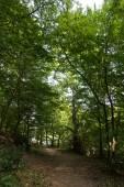 Oaks in Belgrad Forest, Istanbul City, Turkey