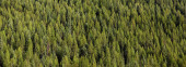 Panoramic background of pine trees on rocky mountains