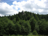deep forest with many trees in Carpathian mountains