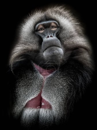 Photo for Portrait of a monkey named gelada. His eyes speak, he is the king of the group - black background - stock image - Royalty Free Image