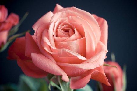 Photo pour Princesse de l'Infinité (rose) sur fond doux. Fleur rose néerlandaise - image libre de droit
