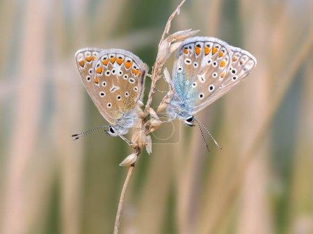 Спаривание бабочек на размытом фоне. Обыкновенная синяя бабочка .