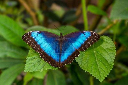 Голубая бабочка называется голубой морфо на размытом фоне .