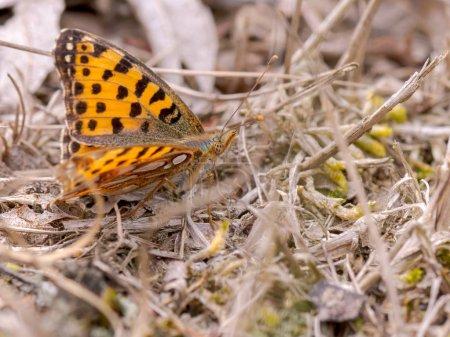 Photo pour Papillon orange - Niobe fritillaire - image libre de droit