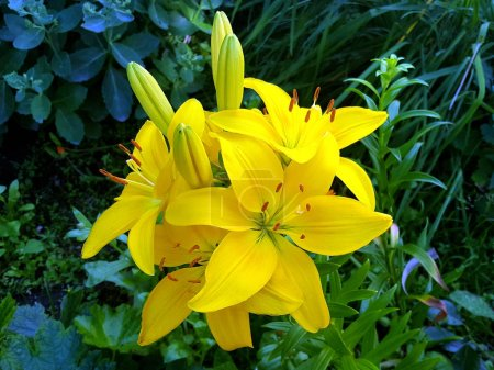Bright yellow garden lilies on