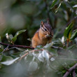 Canadian chipmunk is such a cute animal, Canadian ...