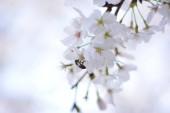 """Постер, картина, фотообои """"крупным планом вид белых цветов на яблоне"""""""