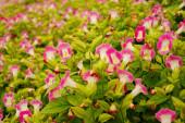 """Постер, картина, фотообои """"Красивые розовые цветы в саду"""""""