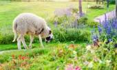 """Постер, картина, фотообои """"Овцы фермы сад / красивые flowre сад фермы овцы пастбища травой на зеленом поле - овцеводства сельского хозяйства на весна лето"""""""