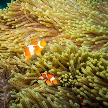 Photo pour Poisson clown sur un récif corallien de l'île de Komodo - image libre de droit