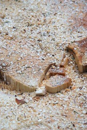 Photo pour Tronc d'arbre scié, sciure de bois, exploitation forestière. gros plan tourné. - image libre de droit
