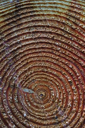 Photo pour Texture bois, cercles concentriques d'un tronc d'arbre coupé, gros plan - image libre de droit