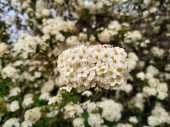 The Viburnum tinus, commonly known as durillo.It is an indigenous plant of the Iberian Peninsula.Floor white in the park of Isla Cristina provicia de Huelva Spain.