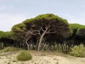 Landscape of pines on the beach of Isla Cristina province of Huelva Spain