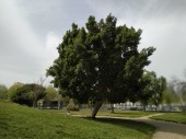 Large tree with green leaves in the park of Isla Cristina province of Huelva Spain.
